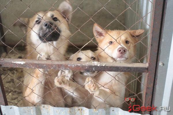 В Серове на отлов бездомных собак в 2018 году выделили 2,1 миллиона рублей – это меньше, чем в прошлом году