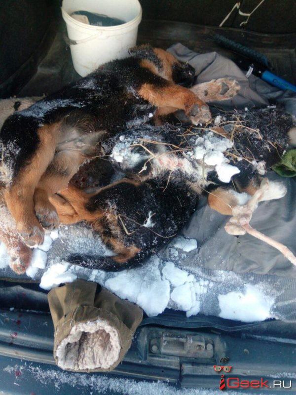 Волонтеры зоозащиты сообщили о жестоком убийстве шести щенков в Серове. «Сейчас едем в полицию, будем писать заявление…»
