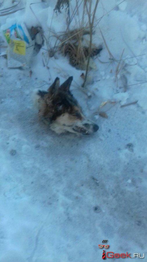 В Серове продолжаются нападения на собак. Осторожно! Фото 18+