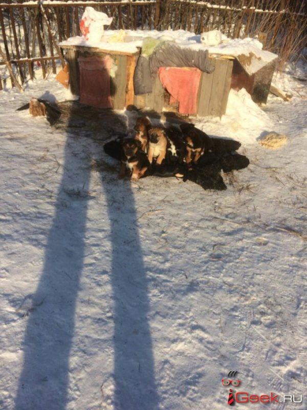 «Факт жестокого обращения с животными не нашел своего подтверждения». Полиция Серова отказала в возбуждении уголовного дела по убийству шестерых щенков