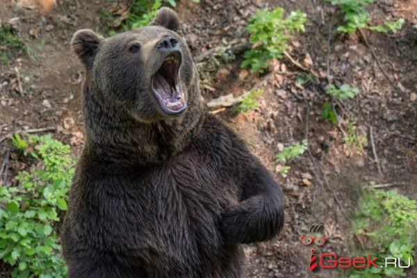 Под Серовом замечен медведь. Управление гражданской защиты рассказывает, как вести себя при встрече с косолапым